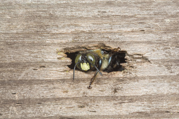 A carpenter bee emerging from a thight opening to her nest borrow in a piece of wood