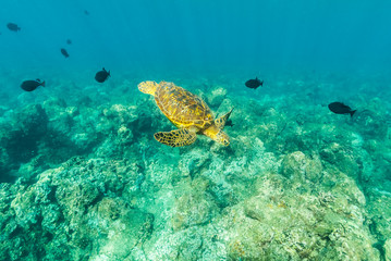 Turtle over the Reef