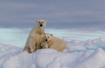 "Zelfklevend Fotobehang Ijsbeer ""Northern Comfort"" - A polar bear yearling cub snuggles in comfort with mother polar bear on a snow covered iceberg. The Seven Islands, Svalbard, the Arctic, Norway."