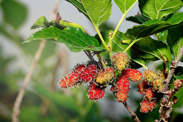 Unripe mulberries (red and green) on the branch.