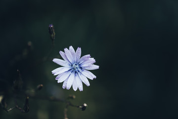 Blue flower with water drops after the  rain