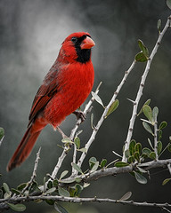 Male Northern Cardinal 0577