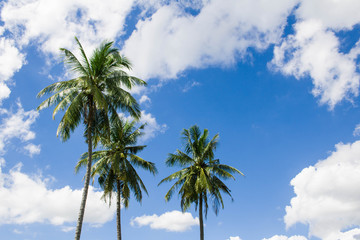Palm coconut the garden with blue Cloud sky background