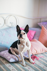 Cute Boston Terrier sitting on the sofa
