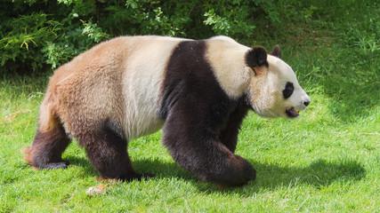 Giant panda, bear panda walking on the grass, profile
