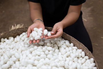 woman hand holding white silk cocoon