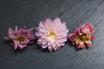 Row of pink Dahlia flowers, fresh and dried