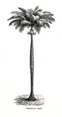 Cuban royal palm (Roystonea regia) (from Meyers Lexikon, 1896, 13/442/443)