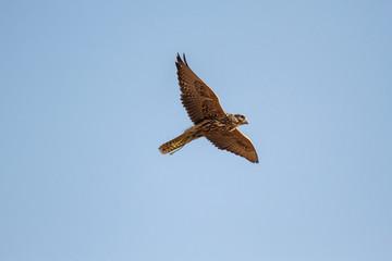 Halcón Sacre en vuelo. Falco cherrug. Cetrería.