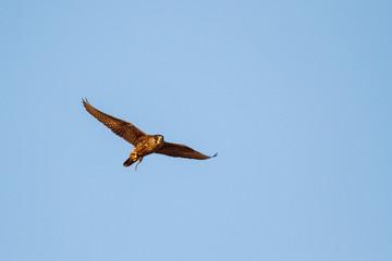 Falco peregrinus. Halcón Peregrino en vuelo. Cetrería. Altanería.