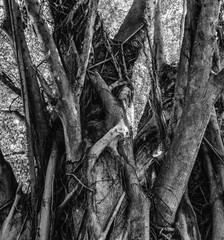 Monochrome outdoor photography of a tree with massive roots and trunks taken in South Africa