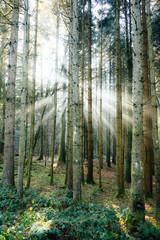Sunbeams inside black forest