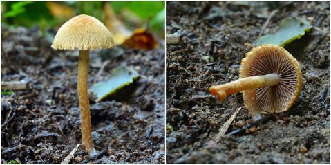 lacrymaria pyrotricha mushroom