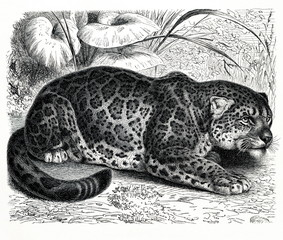 Jaguar (Panthera onca) (from Meyers Lexikon, 1896, 13/466/467)