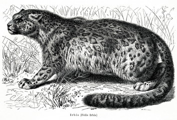 Snow leopard (Panthera uncia) (from Meyers Lexikon, 1896, 13/466/467)