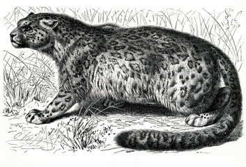 Snow leopard (Panthera uncia) (from Meyers Lexikon, 1896, 13/466/467)