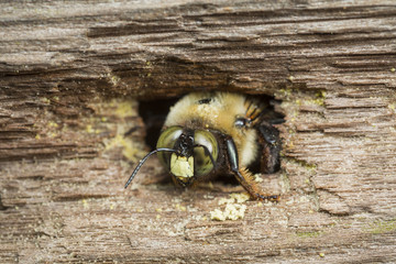A carpenter bee emerging from its nest borrow in a piece of wood