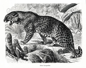 Leopard (Panthera pardus) (from Meyers Lexikon, 1896, 13/466/467)