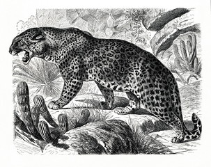 Leopard (Panthera pardus) (from Meyers Lexikon, 1896, 13/466/467)