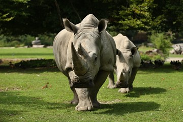 White rhinoceros in the beautiful nature looking habitat. Wild animals in captivity. European zoos. Prehistoric and endangered species in zoo.