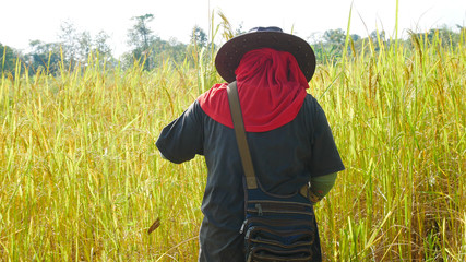 Thai farmer working in rice filed.