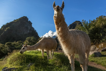 Llamas eating grass on the meadow with Wayna Picchu mountain in the background, Macchu Pikchu, Cuzco Region, Peru