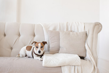 Dog Jack Russell Terrier sits on the couch and looks at the camera. Horizontal indoors shot of light interior with small couch.