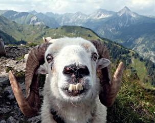 Fototapeta crazy goat obraz