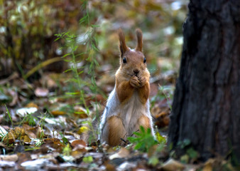A red squirrel sitting on the ground, eating nuts in the autumn park, green grass, yellow leaves