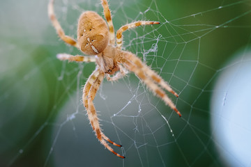European Cross Spider (Araneus Diadematus) On Web