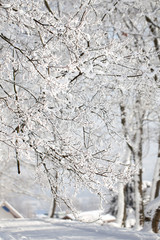 majestic winter landscape - branches covered with snow.
