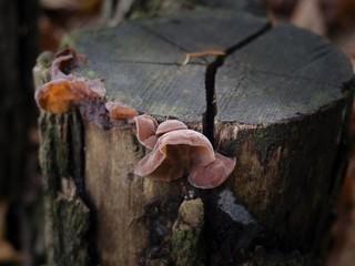 Judas Ear mushrooms
