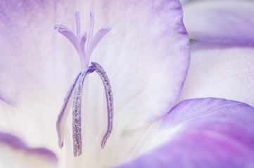 Purple freesia blossom, closeup