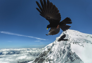 Blackbirds over the Swiss Alps