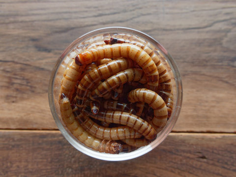 A group of super or giant worms crawl inside small brandy glass over dark wooden surface used as background in exotic pet food, insect, Halloween, celebration, decoration, scary, and haunting concepts