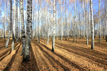birch grove in late autumn in a sunny morning