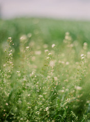 Tiny white wildflowers in a soft green field