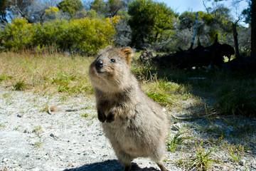 Photo sur Toile Kangaroo Quokka - Rottnest Island - Australia
