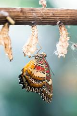 Malachite Butterfly (lat. Siproeta stelenes)