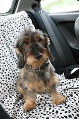 Cane bassotto in viaggio in auto