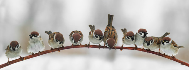 Papiers peints Oiseau panoramic picture of funny cute birds sparrows sitting on a branch in the Park and look forward