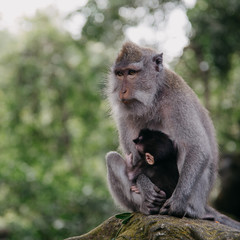Monkeys in Ubud Sacred Monkey Forest. Bali, Indonesia