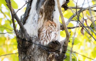 Eastern Red Morph Screech-Owl (Megascops asio) in Ash Tree