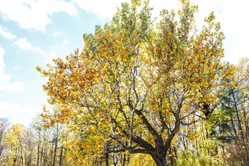 Old huge plane tree with yellow foliage against sunny sky in autumn. Platanus tree in fall park