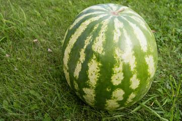 Striped watermelon lying on the grass, closeup