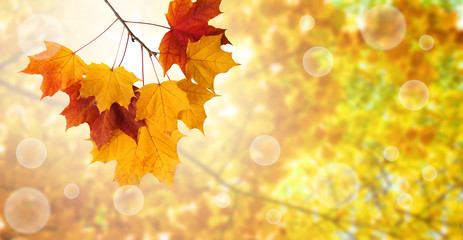 maple leaves on autumn background