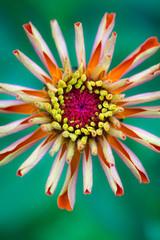 Chrysanthemums in bloom