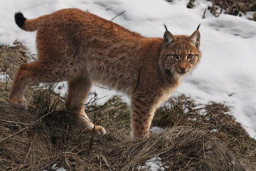 Spoed Fotobehang Lynx The Eurasian lynx (Lynx lynx) or carpathian lynx walking in the beginning of spring with dry grass and snow