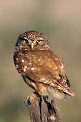 The little owl (Athene noctua) sitting on old branch with green and yellow background in the evening