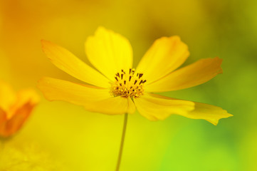Delicate yellow daisy flower. Artistic image of a flower on a beautiful background.